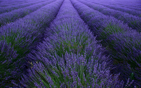 The Perfect Lavender Field