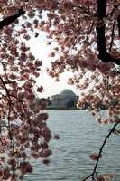 Jefferson Memorial and Frame of Cherry Blossoms