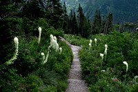Bear Grass along Grinnell Trail